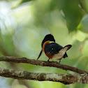 American Pygmy Kingfisher