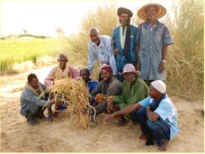"Photo: Timbuktu, Mali, West Africa. October 2008. SRI farmer Alkalifa Ag Insaye in the village of Horogoungo​u found a rice plant with 161 tillers; the plant is shown here as a ""trophy"" by happy and proud farmers and Africare field agents [Photo by Erika Styger]"