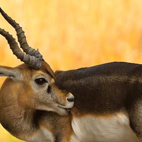 Blackbuck by Vijay Singh Chandel - Animals Other Mammals ( wild, wildlife, forest, close up, animal )