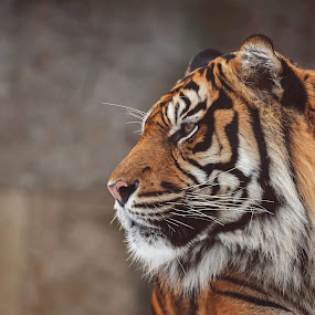 Sumatran Tiger by Ondřej Chvátal - Animals Lions, Tigers & Big Cats ( fur, feline, natural, nature, muzzle, tiger, sumatran, portrait, look, cute, eyes, cat, carnivore, zoo, detail, wild, male, wildlife,  )