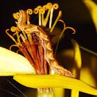 Geometrid Larva