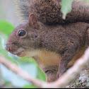 Atlantic forest squirrel