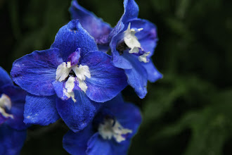 Photo: Blue delphiniums  Prints and cards available - http://www.inspiraimage.com/index.php/gallery/flowers/329-bluedelphiniums