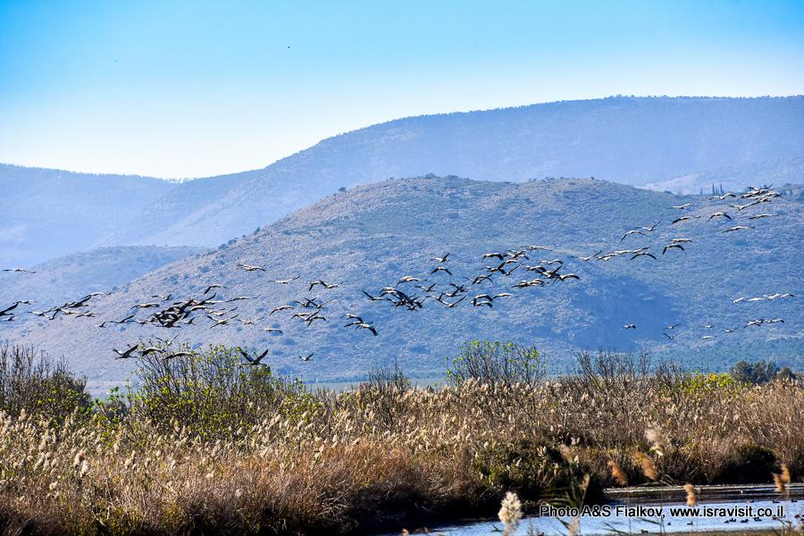 Стаи птиц в Израиле. Заповедник птиц на озере Хула.