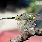 Green skimmer