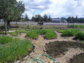Photo: cover crops needing to be cut- bare bed will be mulched