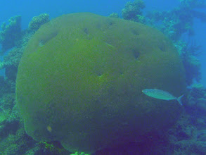 Photo: Rastrelliger kanagurta (Indian Mackerel), Naigani Island, Fiji