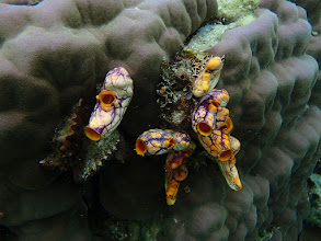 Photo: Polycarpa aurata (Goldmouth Sea Squirt), Sand Island, Palawan, Philippines.