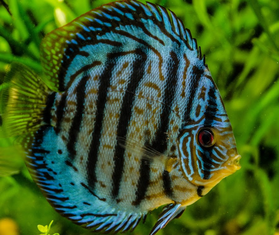 Discus by George Enescu - Animals Fish ( discus, fish )