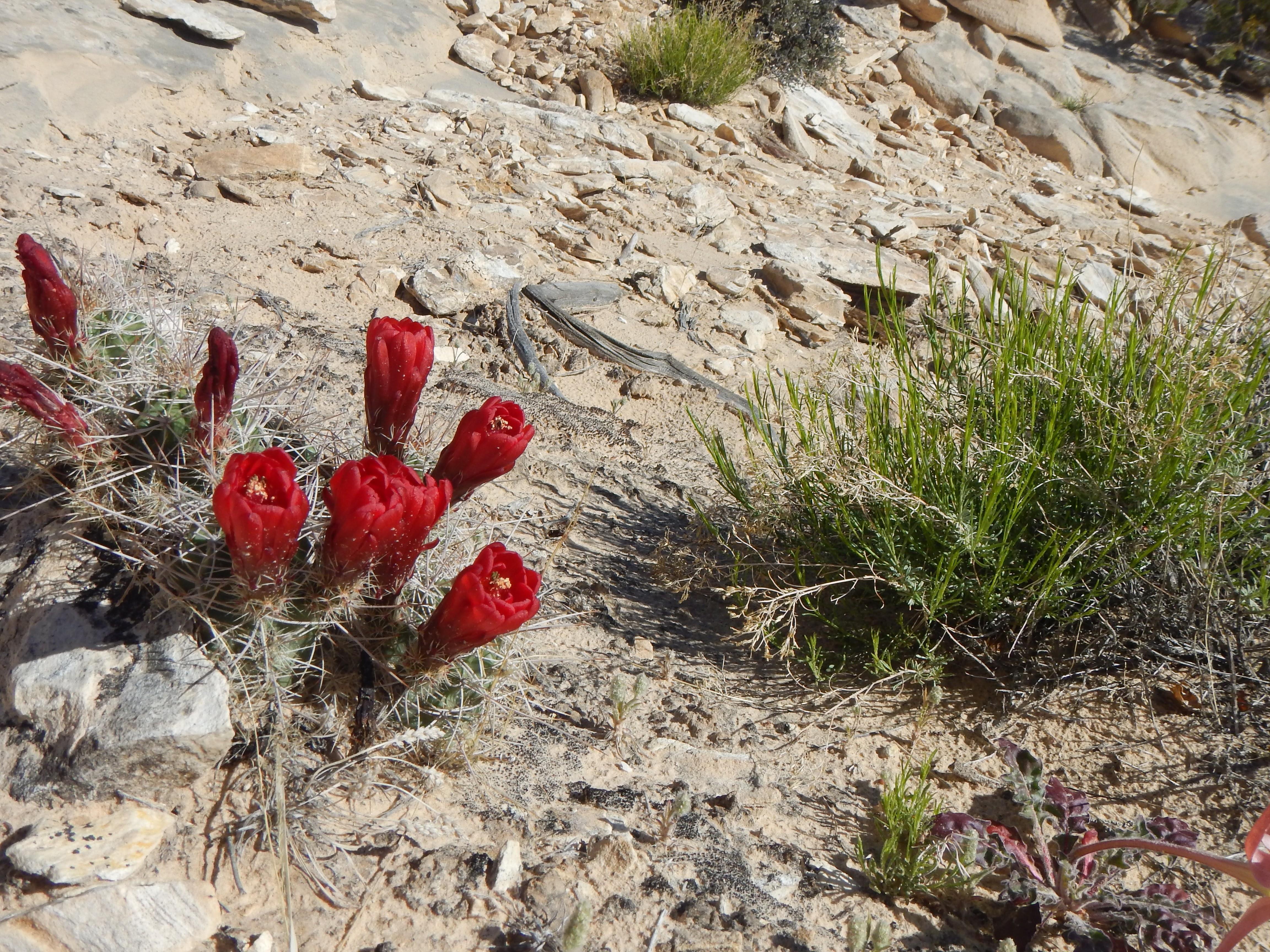 Photo: Claret cup cactus, my favorite.