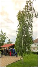 Photo: Mesteacan (Betula)  din Turda, parcul Teilor - 2019.05.02