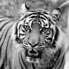 Tiger in Black & White by Mike Vaughn - Black & White Animals ( tiger,  )