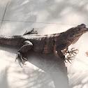 black ctenosaur, black spiny-tailed iguana