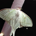 Indian Moon Moth