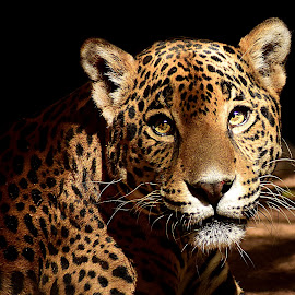 Jaguar Dreams by Shawn Thomas - Animals Lions, Tigers & Big Cats