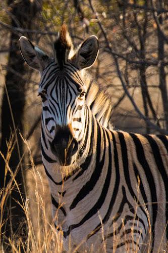 Zebra by Dawie Nolte - Animals Other Mammals ( beard, zebra, stripes, main, eyes,  )