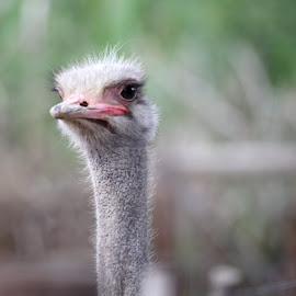 Ostrich close up  by Kedar Banerjee - Novices Only Wildlife ( ostrich, nature, bird, portrait, wildlife,  )