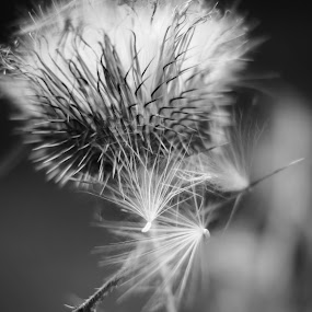 Thistle by Kimberly Kern - Black & White Flowers & Plants ( like a feather, thistle, sharp, black and white, weeds, end to summer )