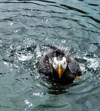 Photo: Puffin, Oregon Coast Aquarium, Newport