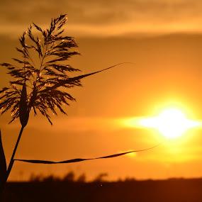 Plant at sunset by Vanja Vidaković - Novices Only Flowers & Plants ( plant, vukovar, backlight, sunset, croatia )
