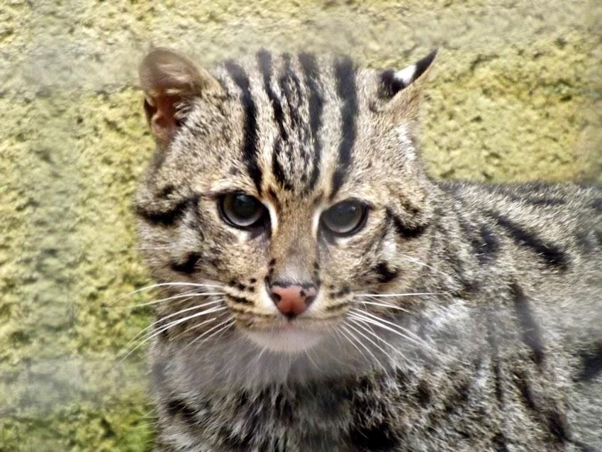 Chat pêcheur, Refuge de l'Arche - Tous droits réservés