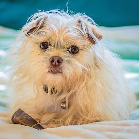 Mishka by Angela Higgins - Animals - Dogs Portraits (  )