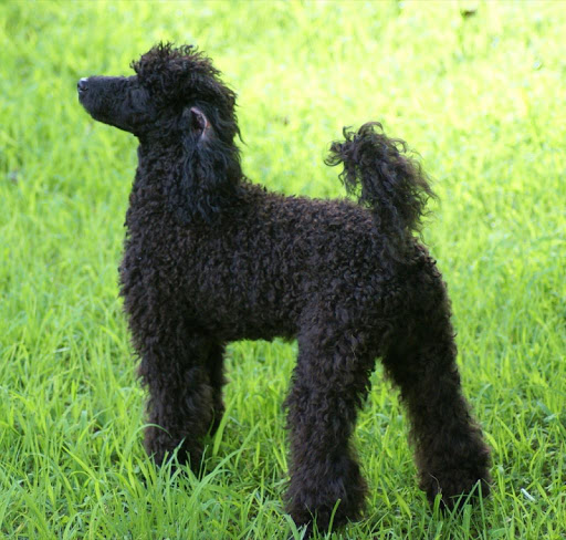 Poodles Wallpapers HD FREE