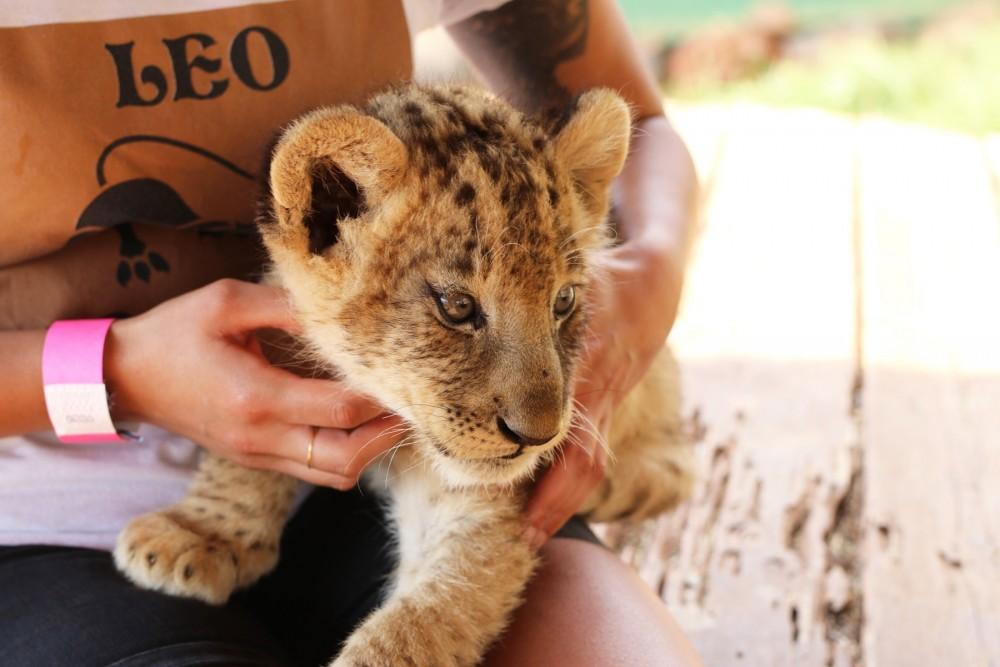 Tourist holding wild cat cub