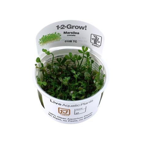 Marsilea Crenata 1-2 Grow