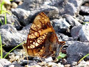 Photo: ORANGE MAPWING--hypanartia lethe--EL ARRAYAN