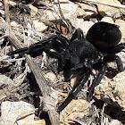 Ladybird Spider ♀️