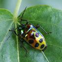 Shiny hibiscus beetle