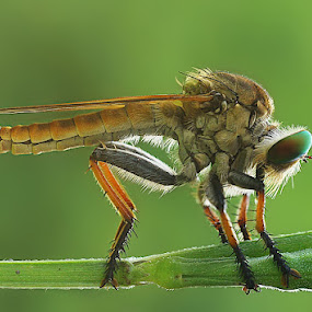 Robberfly by Angga Putra - Animals Insects & Spiders
