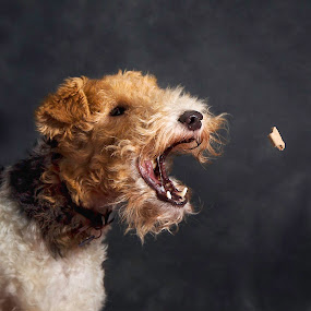 Badger by Alan Payne - Animals - Dogs Playing ( playing, wire haired fox terrier, terrier, dog catching playing, dog, catching )