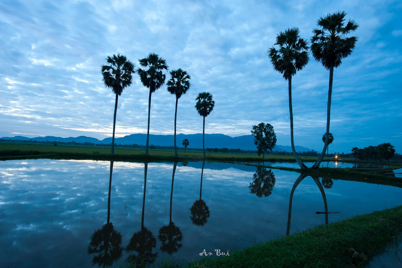 Sunrise at rice paddy fields with palm trees