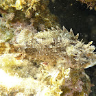 Red scorpionfish. Cabracho, escórpora