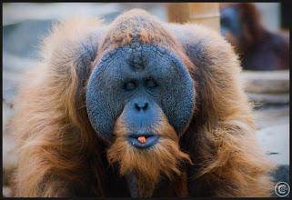 Photo: Von den anderen Menschen unterscheiden die Orang Utan sich durch ihr rotbraunes Fell und durch ihren stärker an eine baumbewohnende Lebensweise angepassten Körperbau.