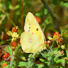 Balkan Clouded Yellow