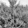 Old growth Sagebrush