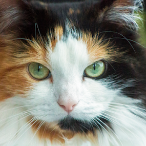 by Mick Greaves - Animals - Cats Portraits ( cat, color, maine coon, portrait, eyes,  )
