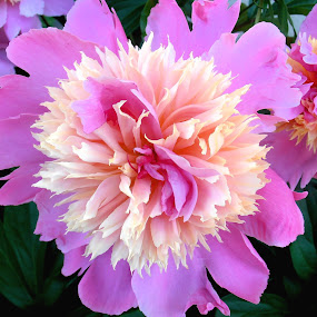 Peonies by Snezana Petrovic - Nature Up Close Flowers - 2011-2013 ( macro, nature, colorful, petals, green, beige, pink, dlowers, leaves, garden, spring, peonies,  )
