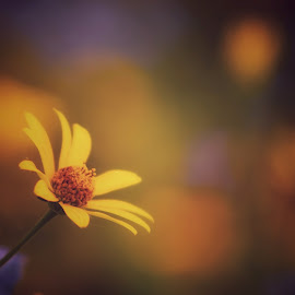 Yellow Summer by Francisco Little - Flowers Flowers in the Wild ( bloom, sunshine, yellow, daisy, summer, flower,  )