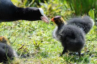 Photo: Klasse: Vögel (Aves) Ordnung: Kranichvögel (Gruiformes) Familie: Rallenvögel (Rallidae) Gattung: Blässhühner (Fulica) Art: Blässhuhn