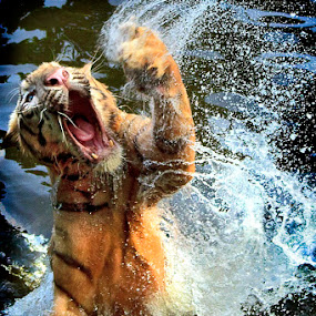 Hear Me Roar !! by Andreas Sugiarto - Animals Lions, Tigers & Big Cats