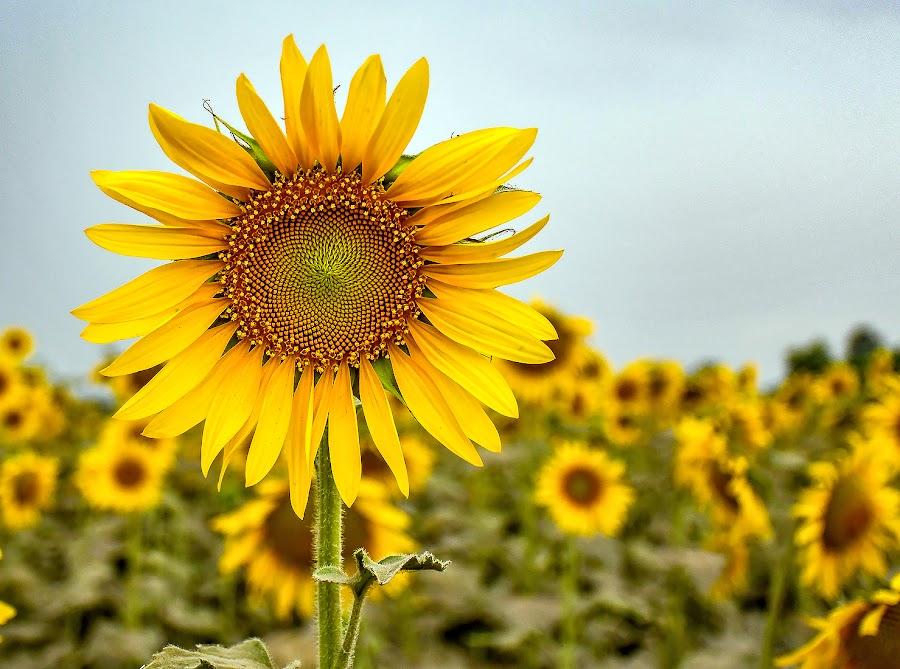 by Mohsin Raza - Flowers Flower Gardens (  )