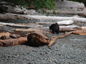 Photo: July 2 - One of two black bears that came to visit me this morning as I was breaking camp.