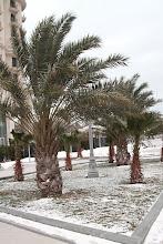 Photo: Azerbaidžanietiškos palmės matyt nebijo šalčių.   Azeri palm trees seem not to be afraid of frosts.