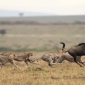 Wildebeest Meal by Shreyas Kumar - Animals Lions, Tigers & Big Cats ( cheetah, wildebeest, masai mara, 5 brothers coalition, wildebeest hunt,  )