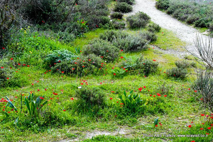 Цветы в Израиле. Верхняя Галилия.