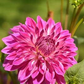 by Praveen Kulshreshtha - Flowers Single Flower (  )